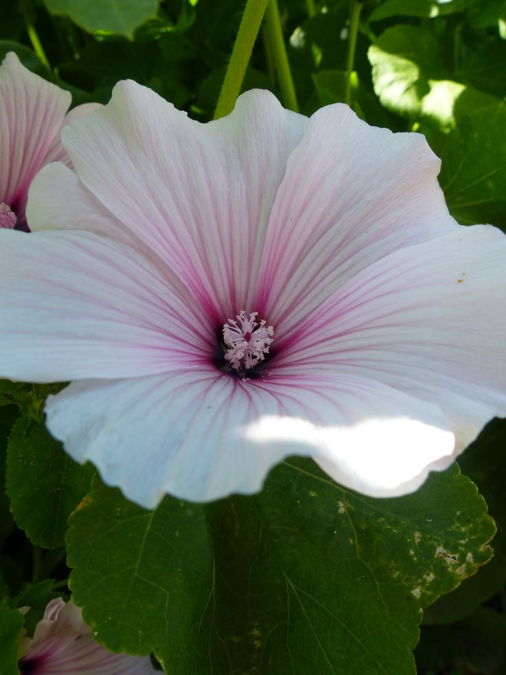 Lavatera trimestris 'Dwarf Pink Blush' - A unique dwarf variety bearing considerable white flowers with pink striations. 2 ft. http://www.chilternseeds.co.uk/item_773Q_lavatera_trimestris_dwarf_pink_blush