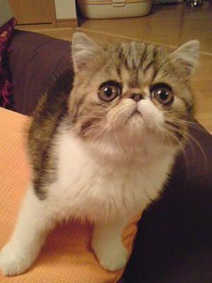 エキゾチック 猫