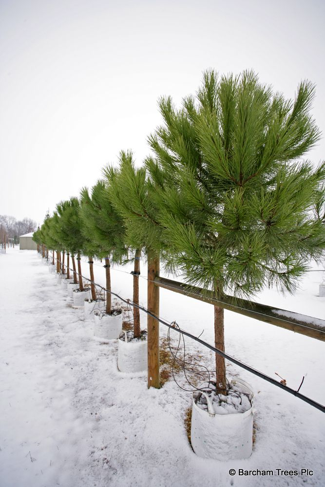 Pinus Pinea At Barcham Trees Pinus Pinea F St K Am Pinterest Evergreen Garden Ideas