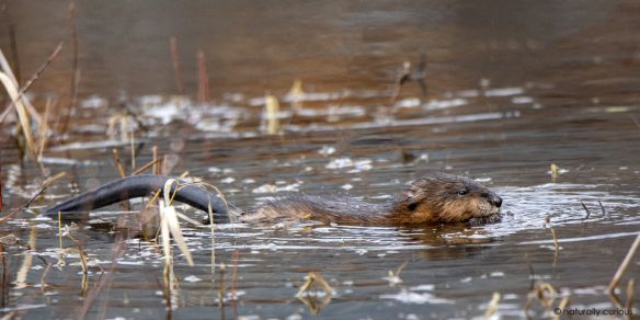 Muskrats Cohabit With Beavers Insect Eggs Beaver Animal Teeth