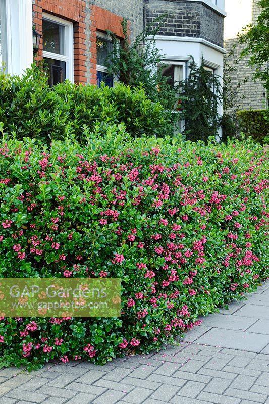 escallonia hedge - Google Search
