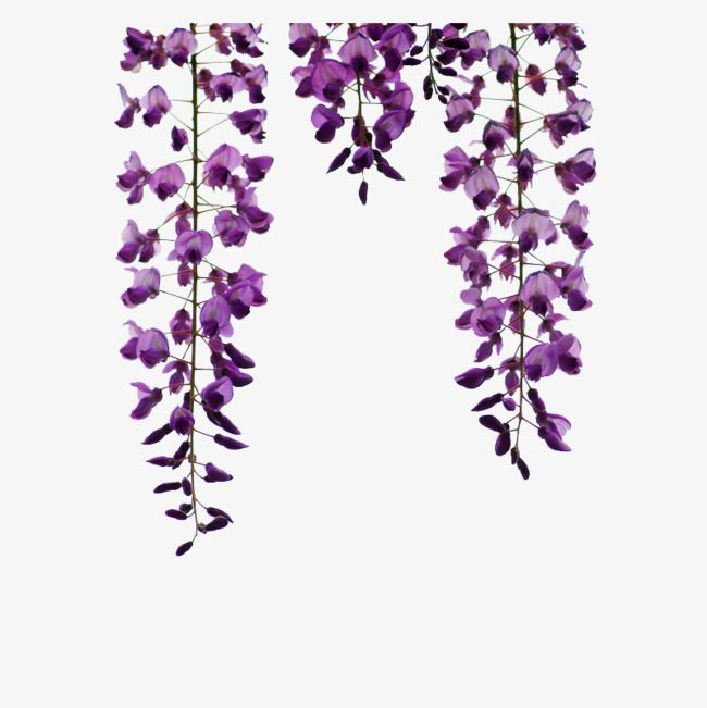 Wisteria Hanging Picture Material Hanging Wisteria Flowers Png Transparent Clipart Image And Psd File For Free Download Hanging Pictures Hanging Plants Wisteria