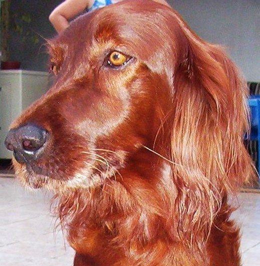 sociedadedosanimais.com.br/pesquise-e-conheça-um-pouco-sobre-os-animais: Setter Irlandês: origem, características, comportamento e cuidados deste ativo e inteligente cão.