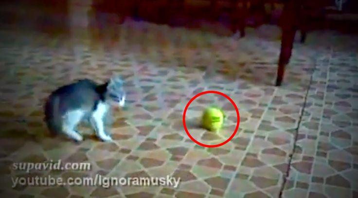 """Egész nap kacagtam a cica viselkedésén! Váratlan """"ellenséggel"""" hozza össze a sors, és nem is rest megbirkózni vele! :D"""