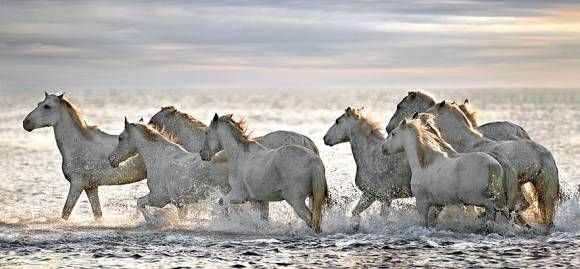 神々しい白の躍動。フランスの湿地帯を駆け抜けるカマルグ種の馬たち