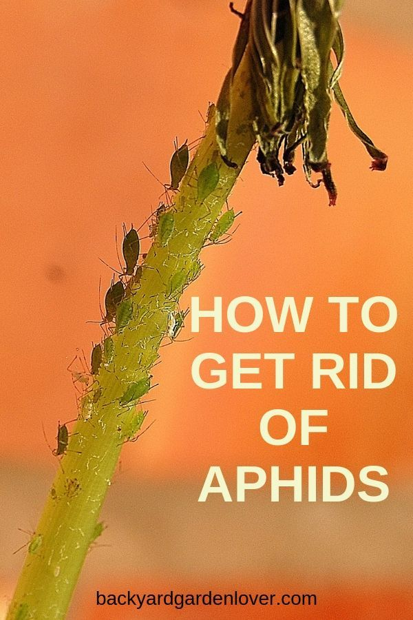 How To Get Rid Of Aphids Naturally In Your Garden And Indoors Get Rid Of Aphids Aphids Organic Pesticide