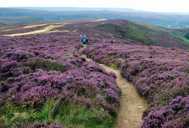 La bruyère mauve et pourpre des North York Moors dans le Yorkshire, en Angleterre :