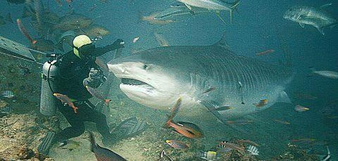 Things  Tiger Sharks  Biggest Tigers  Large Sharks  Amazing SharksBiggest Tiger Shark In The World