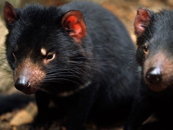 Tasmanian Devils - currently endangered due to a facial tumor disease and loss of habitat :(