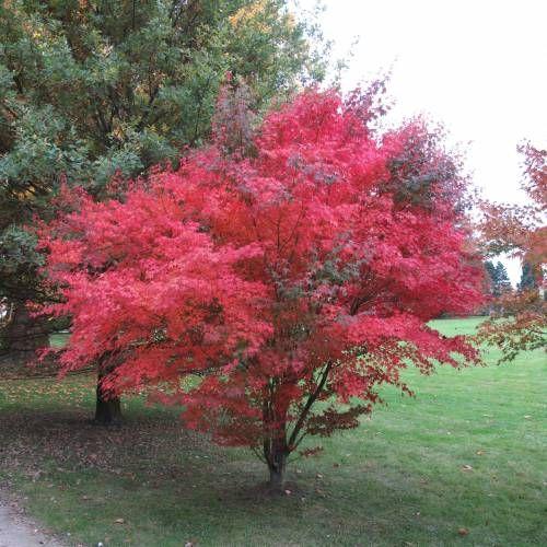 Acer palmatum Atropurpureum--Bordo do Japão 'Atropurpureum'