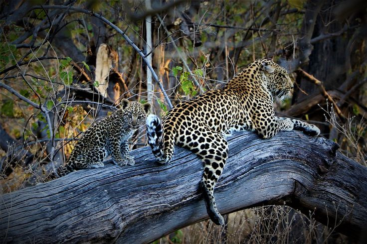 A day of mixed feelings as news of Phefo's cub being killed last week put a bit of a dampener on the atmosphere in camp. Then Matt went out on a drive from Mombo Trails and guess what? Pula, whose twin cubs hadn't been seen for a few weeks leaving us fearing for the worst, still has one surviving bundle of spotted fur alive and looking well! #OkavangoDelta