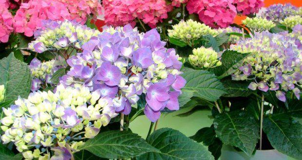 Las 25 mejores ideas sobre hortensia verde en pinterest - Como podar la hortensia ...