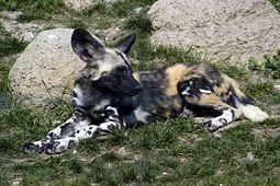 Pes hyenový