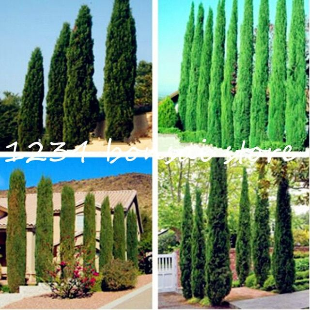50 Blue Cypress Trees Plants Rare Platycladus Orientalis Oriental Arborvitae Plants Conifer Plants Diy Home Ga Tree Seeds Italian Cypress Italian Cypress Trees