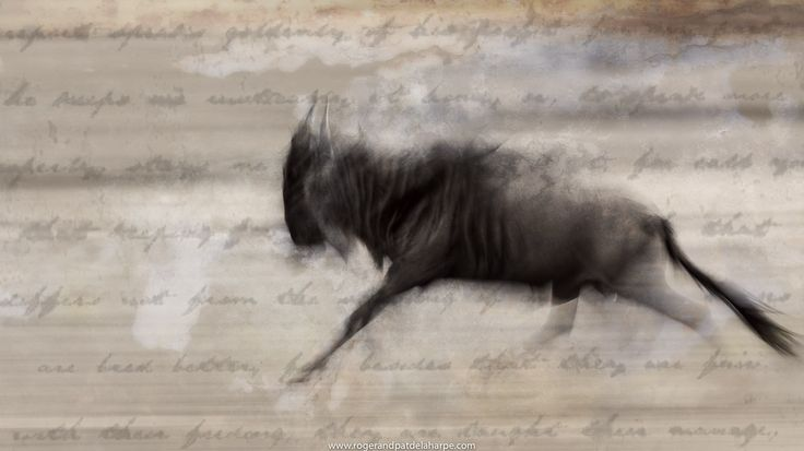 One of our fine art prints of a wildebeest running in the Serengeti National park in Tanzania.   See more of our work at http://www.rogerandpatdelaharpe.com
