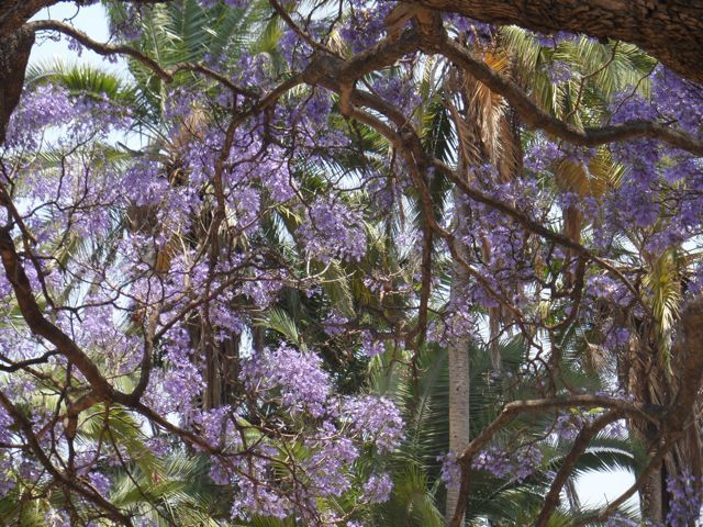 #Jacaranda and other #trees at #Phoenix #School in #Blantyre #Malawi