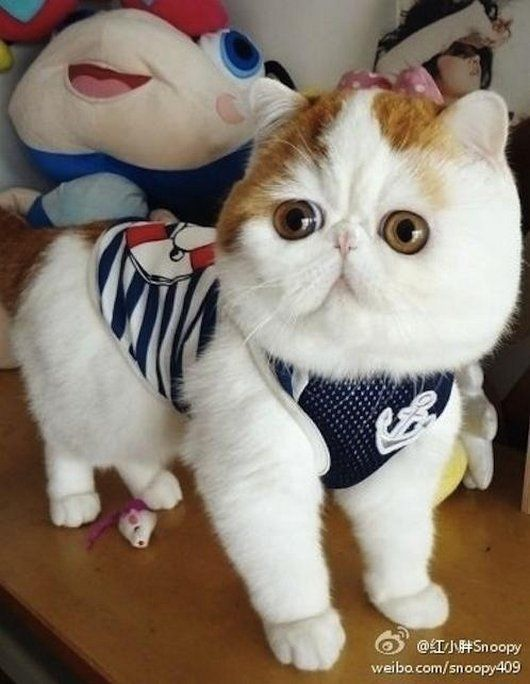exotic british short haired  cats | ... cats, cat, cute, Snoopy the Exotic Short-Hair Cat Has the Potential