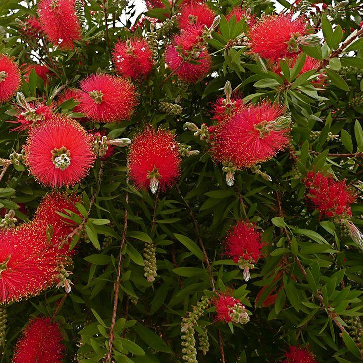 Callistemon speciosus | Myrtaceae