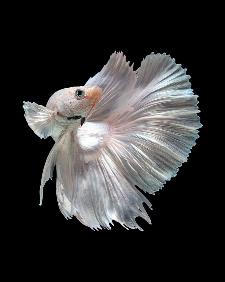 44 best siamese fighting fish images on pinterest for Buy betta fish