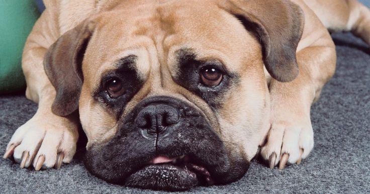 Dicas para cuidar de um filhote de mastiff inglês. O Mastiff inglês é um cachorro musculoso, pesado e potente. Dito isso, essa raça é conhecida por produzir cães de guarda quietos, não agressivos e indicados para famílias. Confiantes e bons observadores do ambiente ao seu redor, os mastiffs são criaturas pacientes, inteligentes, calmas e dóceis, que requerem um treinamento firme, consistente e ...