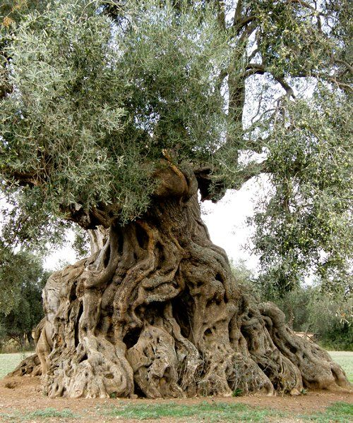 Ancient olive tree in Ortumannu Sardinia