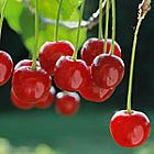 Pucker up! All about sour cherries - with a link to Canadian Living sour cherry recipes