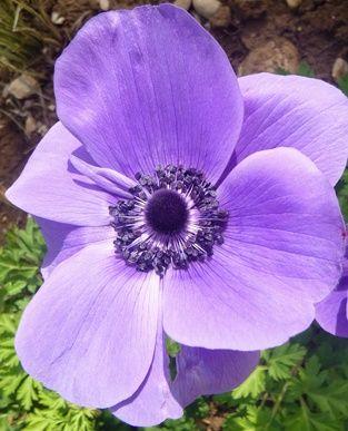 Bunga Anemone Ungu
