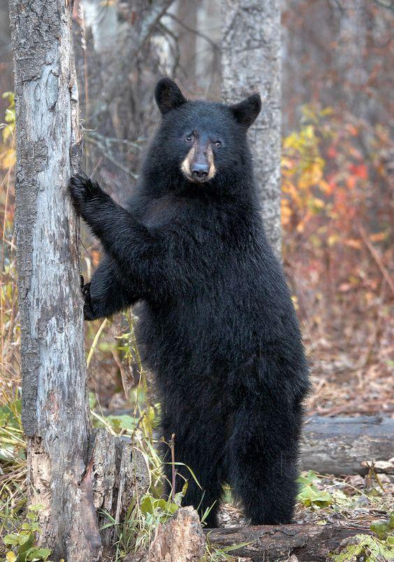 Black Bear, Photo by James Boardman-Woodend.