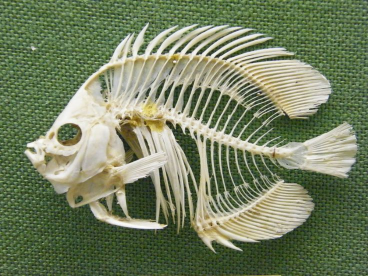 northern pike skeleton - Google Search