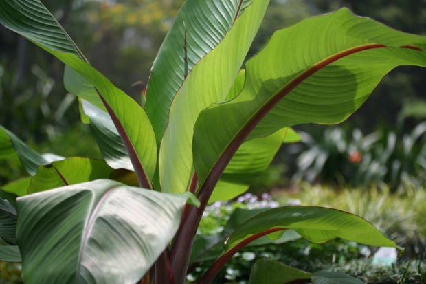 Abyssinian Banana Palm