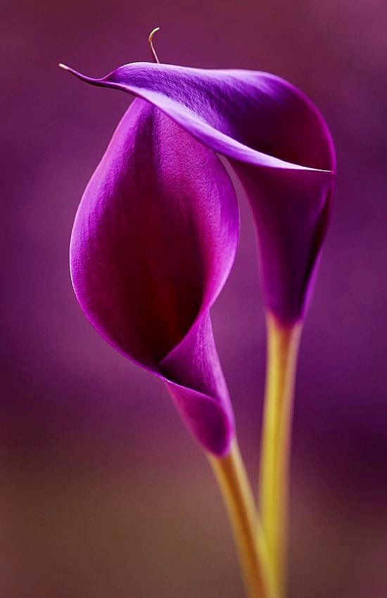 Purple Calla Lilies | Backyards Click