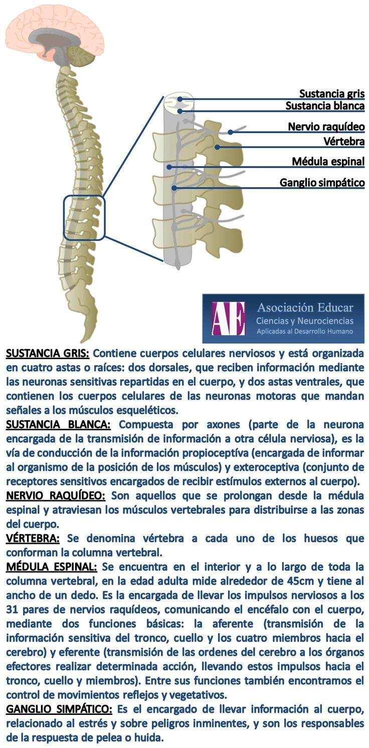 Médula espinal - Asociación Educar - Ciencias y Neurociencias aplicadas al Desarrollo Humano - www.asociacioneducar.com