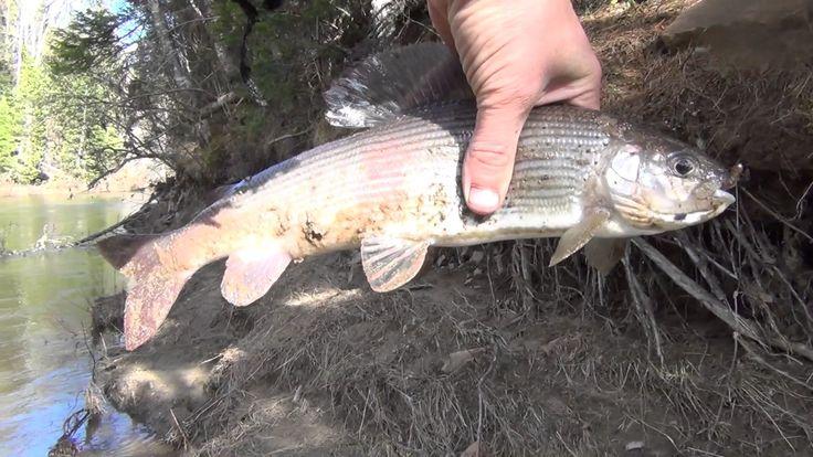 Хариус Ловля Хариуса Рыбалка на хариуса Рыбалка на щуку карась ловля кар...