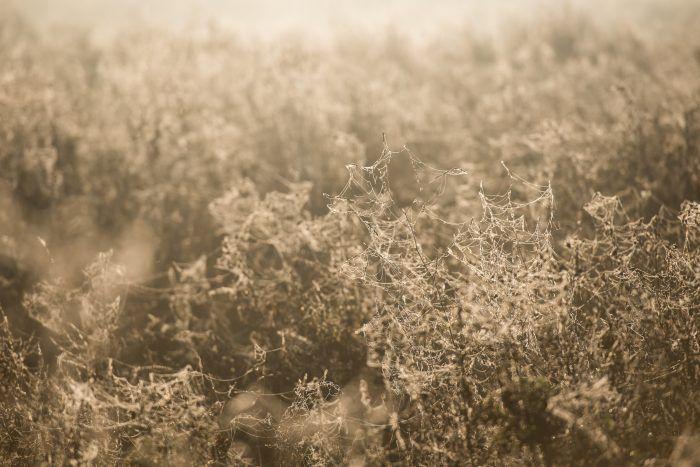 Door het tegenlicht zie je dat het hele veld volstaat met planten met spinnenwebben en dauwdruppels.