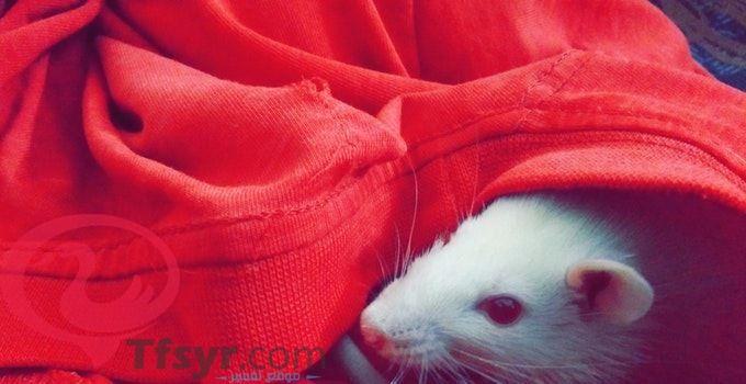 تفسير رؤية الفأر في المنام للعزباء والمتزوجه والحامل 1 Hamster Ferret Animals