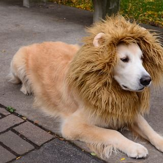 Lion Dog Costume  Poor Cookie, she's going to be subjected to this at Halloween....