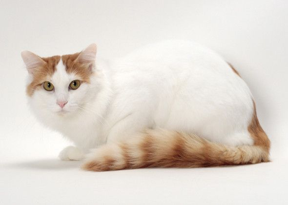 Turkish Van — Water-Loving LeaderAnother Turkish breed, the Van, can get along great with dogs, just as long as they know he is the one in charge. This active, energetic cat is known for his love of retrieving and his enjoyment of playing in water. Choose him if you share your home with water-loving dogs. The Turkish Van's silky, medium-length coat is easy to groom.