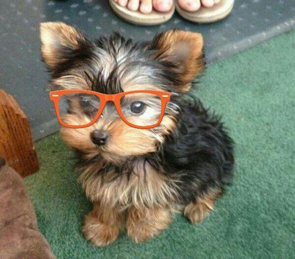 Look at this cute yorki nerdy yorki
