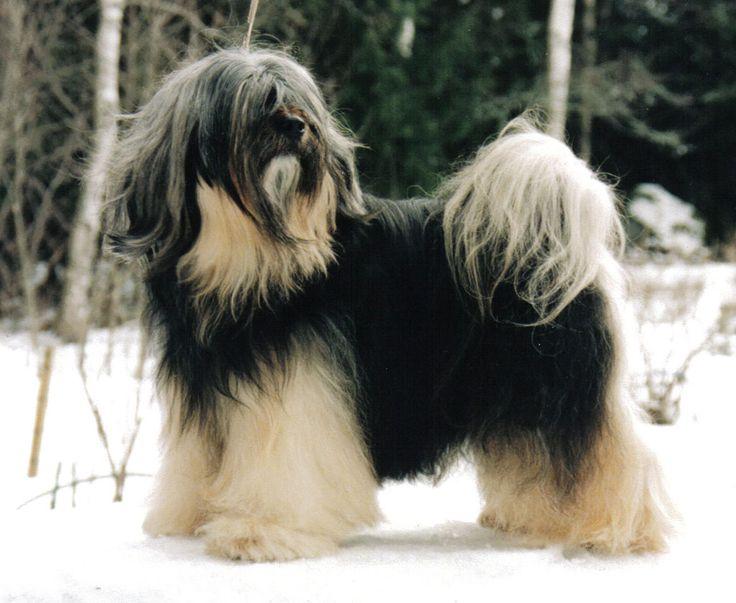 The Tibetan Terrier (or Tibetan Terrier) It is a dog of medium size and long hair. Tiene apariencia robusta y una expresión que denota ...