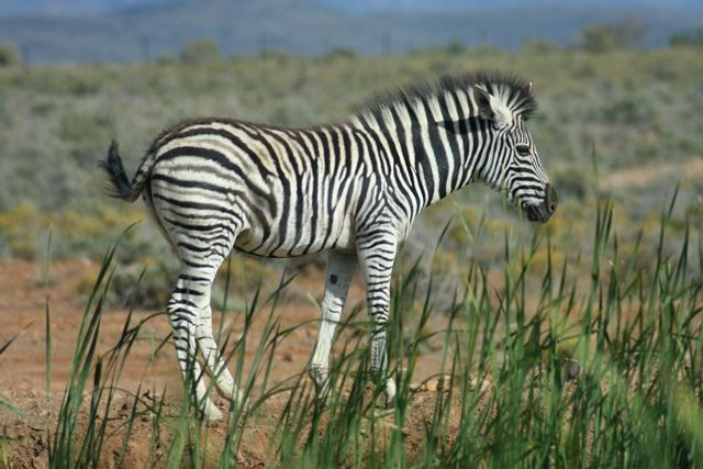 Zebra in the grass.