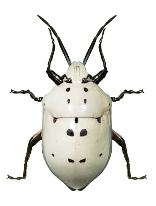 Augocoris sp