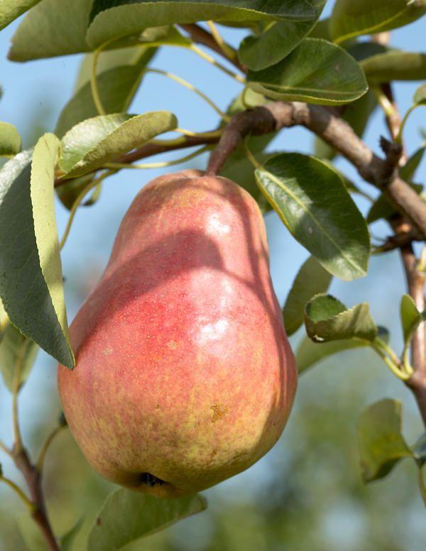 Tohtorin päärynä - Viherpeukalot