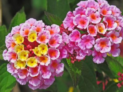 Since a lantana flower cluster has flowers of multiple ages, it will often display different colors in the center and on the edges. You can observe lantana flowers changing color in your garden as the season advances. Learn other reasons for color changing in this plant here.