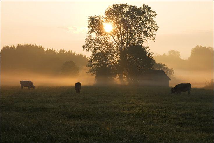 /// sun cow