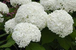 Hortensien - Pflege, Schneiden, Vermehren