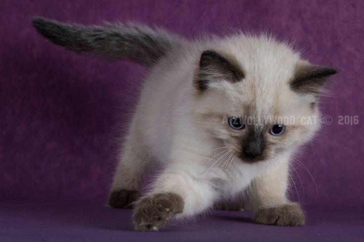 2016: Fred A Zwollywood Cat. 8 Weeks old Ragdoll kitten, seal colourpoint. Flintstones litter.