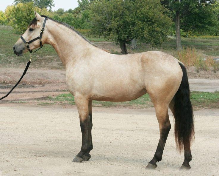 I'm such a sucker for a buckskin horse (1/2 Friesian 1/2 Paint apparently?)