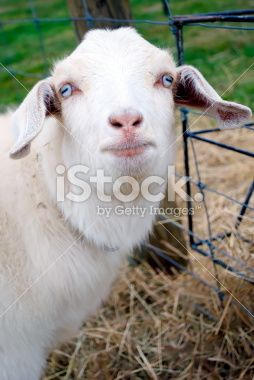 Kiko Goat Royalty Free Stock Photo