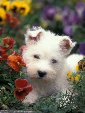 puppyyyy!...its a baby westie...ahh: Flowers Gardens, West Highlanders Terriers, Pet Sit, Baby Dogs, Puppy, Westies Puppies, West Highland Terrier, Puppies Care, Animal