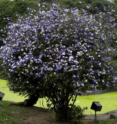 Perfumes do passado – a floração do manacá-de-cheiro   Árvores de ...